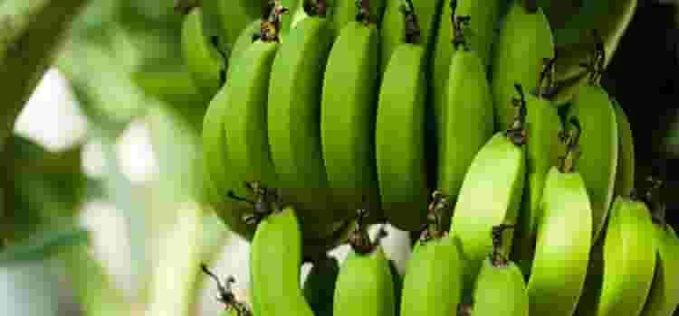 熟していない青いバナナ