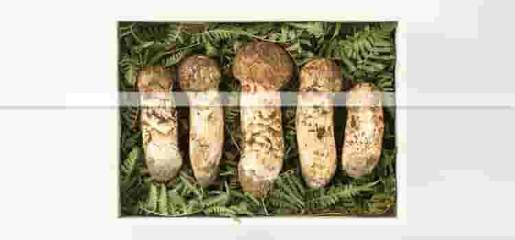 並んだ5本の松茸